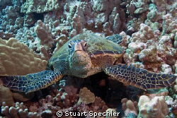 Close encounter with a skeptical turtle, big island of Ha... by Stuart Spechler 